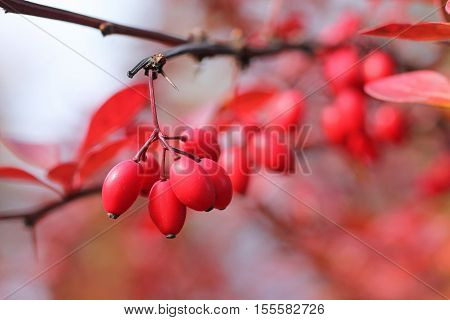 close photo of some red berries of Japanesse barberry (Berberis thunbergii) on the twig in autumn