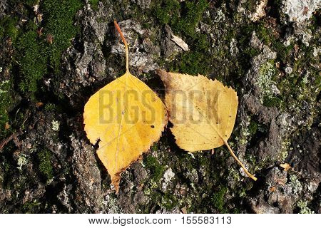 two yellow birch leaves stuck on the bark in autumn