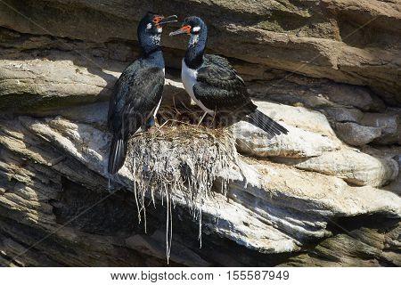 Rock Shag (Phalacrocorax magellanicus) nesting on the cliffs of Carcass Island in the Falkland Islands