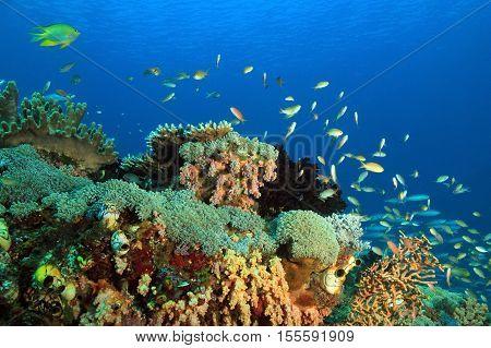 Colorful Coral Reef against Blue Water. Gam Raja Ampat Indonesia