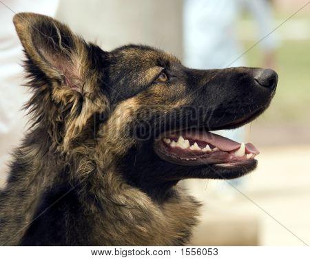German Shephed
