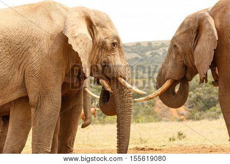 Bush Elephants Sizing Up Their Tusks