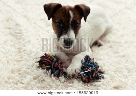 little Jack Russell Terrier puppy playing on the bed
