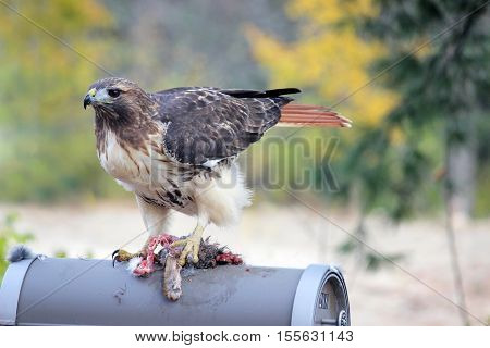 A red tailed hawk (Buteo jamaicensis) eats roadkill prey on a rural mailbox