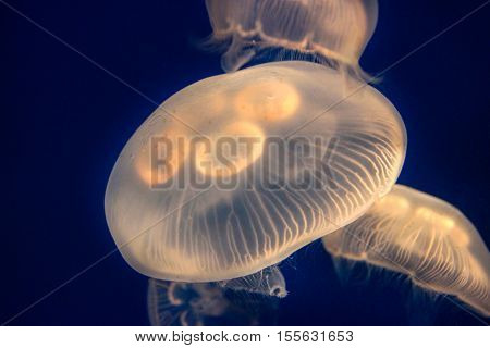 Closeup Of Glowing Moon Jellyfish (aurelia Aurita)