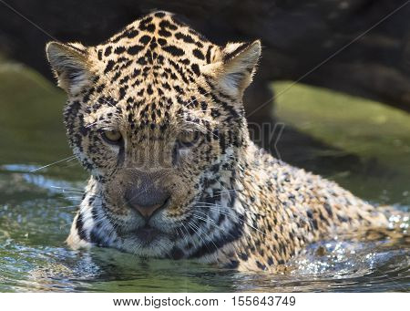 Leopard cooling off in a pond at the Phoenix Zoo