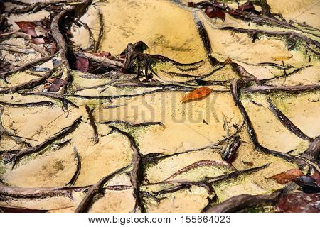 Trail with roots and sand in the rainforest at Bako National Park. Sarawak. Borneo. Malaysia. background texture