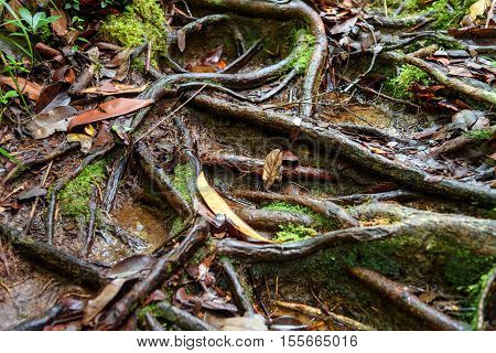 Roots On Trail In Bako National Park