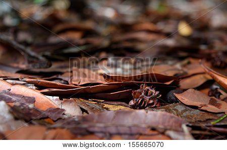 Seed in rainfores at Bako National Park. Sarawak. Borneo. Malaysia