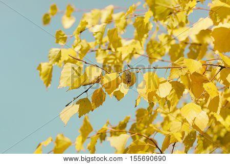 Birch autumn yellow leaves in retro style