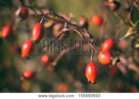 Vintage photo of ripe rosehip berries close-up