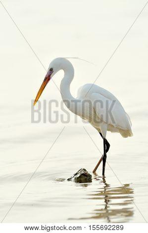 little egret in natural habitat (egretta garzetta)