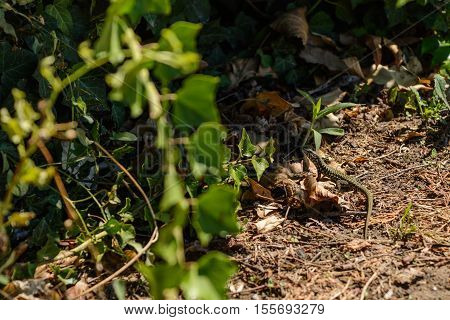 Green nimble lizard in a garden - wild animal