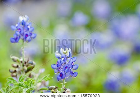 Texas Bluebonnet Against A Field Of Bluebonnets