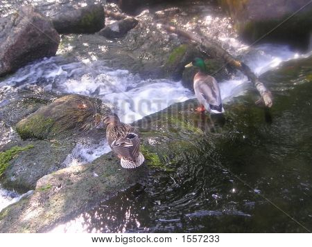Green Collar Duck And Its Female On A Rock Of A Tumultuous Clear Water River, Pont Aven, South Of Fr