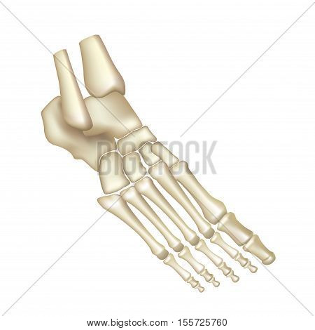 Foot bones isolated on white vector illustration