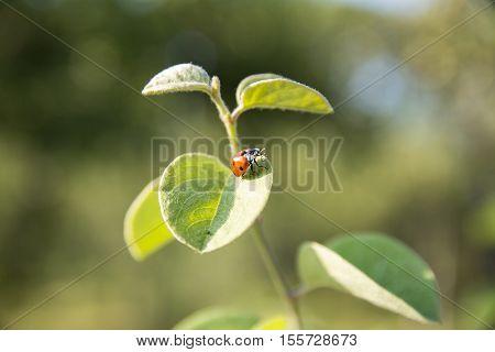 Ladybug on the green leaf. macro. closeup of ladybug. small depth of field.