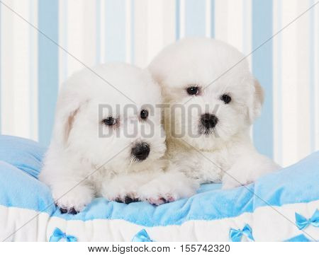 Two Pure breed Bichon Frise puppies lying on the blue pillow