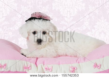 Two months old Pure breed Bichon Frise puppy in a hat lying on the pink pillow