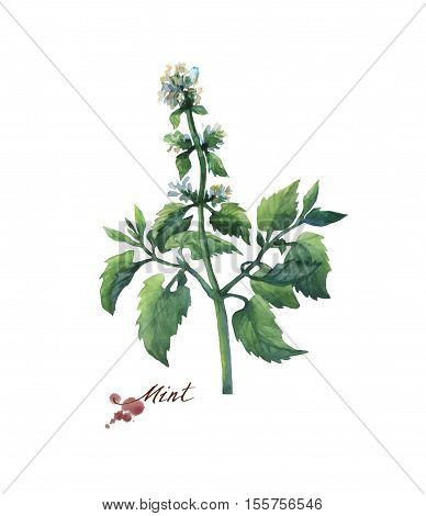 Fresh branche and leaves of mint (peppermint). Hand drawn watercolor painting on white background.