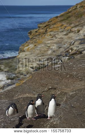 Rockhopper Penguins (Eudyptes chrysocome) climbing and jumping up the steep cliff to reach their nesting site on Saunders Island on the Falkland Islands.