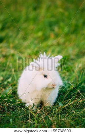 Close Profile Of Cute Dwarf Lop-Eared Decorative Miniature Snow-White Fluffy Rabbit Bunny Mixed Breed With Blue Eyes Sitting In Bright Green Grass In Garden.