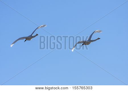 A couple of whooper swan in migration. Clear blue sky in April.