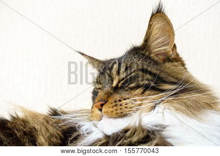 Closeup of a sleeping show quality brown tabby with white Maine Coon cat who is sleeping with his head held up showing his excellent chin beautiful long white ruff and lynx tips on his large ears.