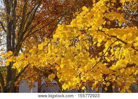 Yellow Leaves Of A Linden. Yellowing Leaves On The Branches Of A Tree. Autumn Background From Leaves