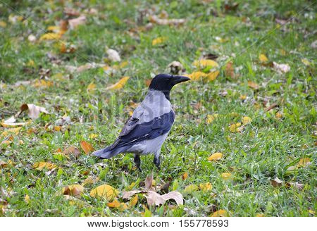 Hooded Crow On The Grass. A Bird Of The Family Corvidae