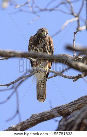Red Shouldered Hawk Looking Down in the Santa Ana Wildlife Refuge in Texas