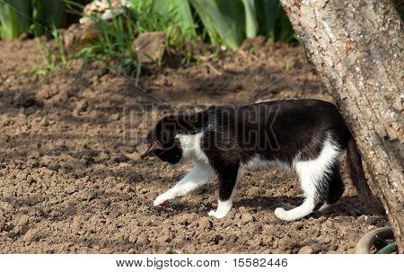 Felis Catus, gato