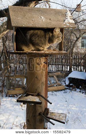 Felis Catus, Cat