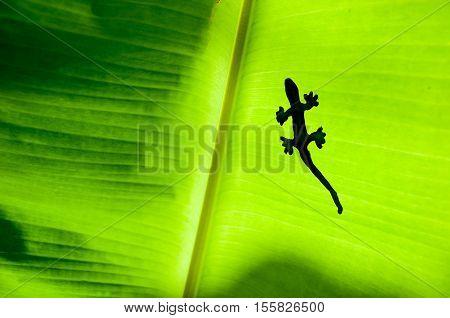 The Shadow Of Gecko Or Lizard On Green Banana's Leaf