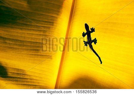 The Shadow Of Gecko Or Lizard On Orange Banana's Leaf