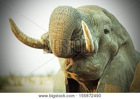 Close up of an elephant drinking with trunk in mouth and prominent tusks with a vignetted edge