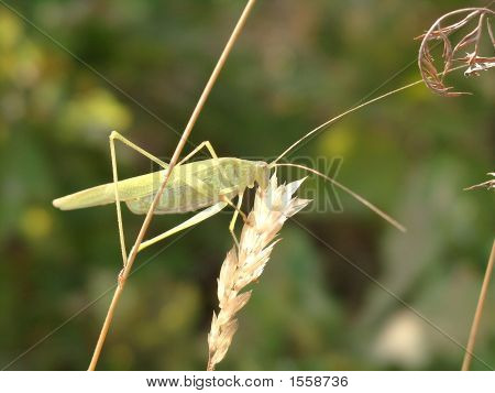 Yellow Grasshopper