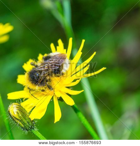 Close up bee in flower. Mired in pollen.
