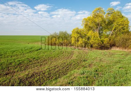 Seedlings Of Winter On The Field