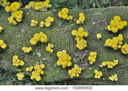 A close up of the edible mushrooms (Pleurotus citrinopileatus) on tree.
