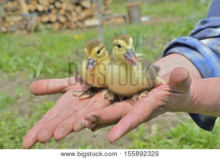A close up of two very small ducklings on hands.