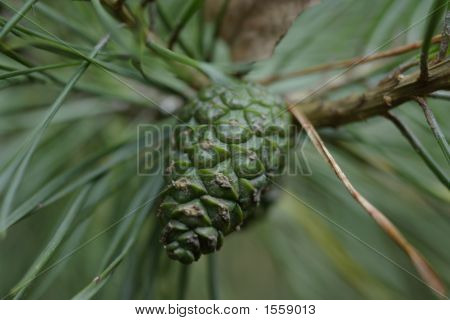 �¡One Of A Pine