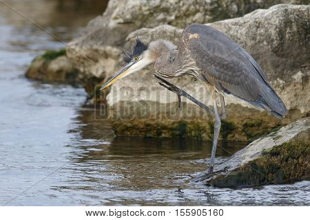 Great Blue Heron Scratching Its Head -ontario, Canada