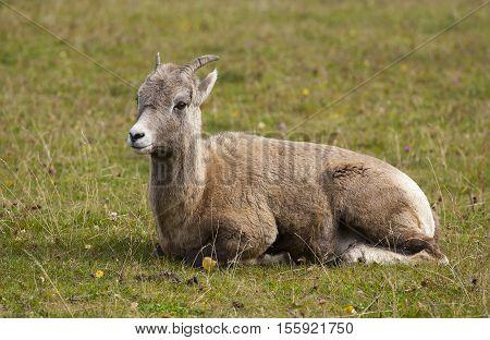 Ewe Bighorn Sheep Ruminating On Grass In Profile View