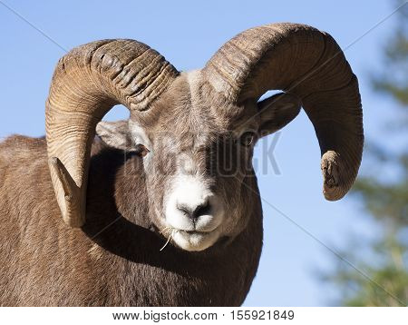 Portrait of ram bighorn sheep from front with blue sky