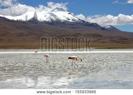 Flamingos in Bolivia near Salar de Uyuni