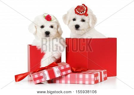 Adorable Bichon Frise puppies in a gift box isolated on white background