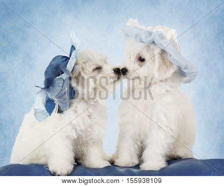 Two adorable Pure breed Bichon Frise puppies in hats in front of blue background