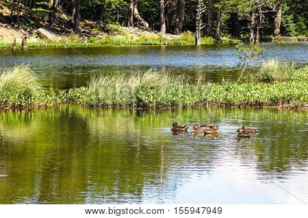 View Of A Family Of Ducks In The Oles Pond.