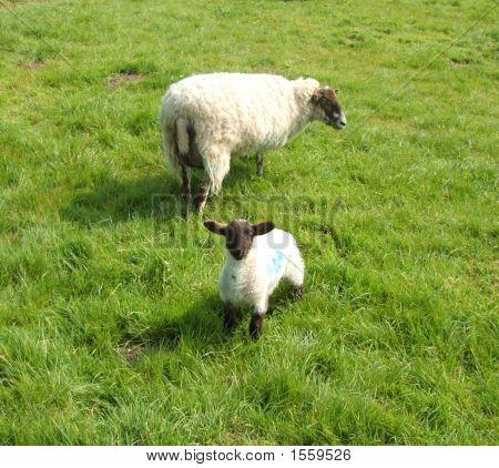 Ewe With Lamb